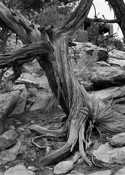 Another Twisted Tree Photo