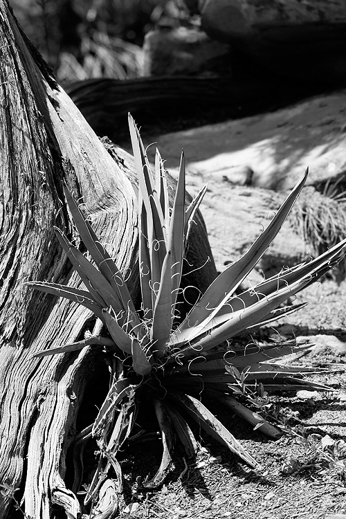 Yucca with Tree Mesa Verde