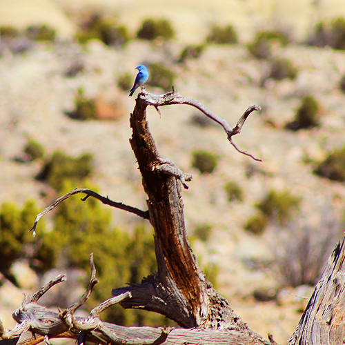 Ghost Ranch Bluebird